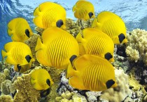 Beautiful Yellow Fish Fish HD Wallpapers - Beautiful Yellow Fish