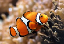 Clownfish Beautiful - Clownfish Beautiful