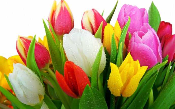 Colorful Tulip Fresh Flowers HD Wallpapers - Colorful Tulip Fresh