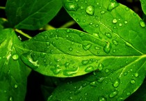 Fresh Green Leaves Nature HD Wallpapers - Fresh Green Leaves