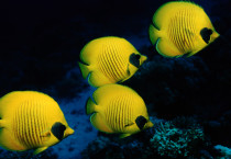 Yellow Fish Fish HD Wallpapers - Yellow Fish