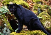 Black Panther Picture Animals HD Wallpapers - Black Panther Picture