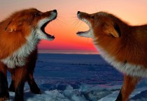 Foxes Animal ANimals HD Wallpapers - Foxes Animal