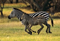 Running Zebras Picture Animals HD Wallpapers - Running Zebras Picture