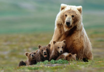 The Bear Family Animals HD Wallpapers - The Bear Family