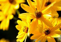 Beautiful Yellow Petals Flowers HD Wallpapers - Beautiful Yellow Petals