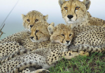 Cheetah Family Animals HD Wallpapers - Cheetah Family