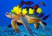 Turtle and Fish Underwater Fish HD Wallpapers - Turtle and Fish Underwater