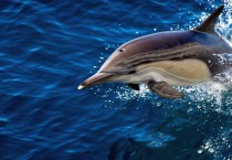 Dolphin in Blue Sea Fish HD Wallpapers - Dolphin in Blue Sea