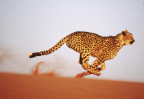 Running Cheetah Animals HD Wallpapers - Running Cheetah