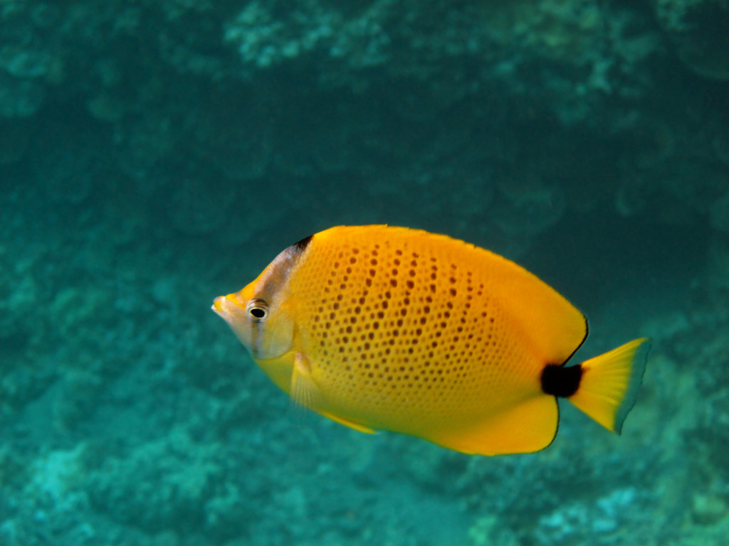 Cute Lemon Butterfly Fish HD Wallpapers - Cute Lemon Butterfly Fish