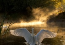 Swans National Geographic HD Wallpapers - Swans National Geographic