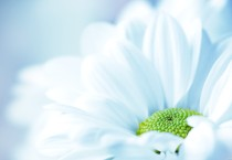White Flower Backgrounds HD Wallpapers - White Flower Backgrounds