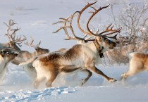 Deer Animals Winter, HD Wallpapers - Deer Animals Winter
