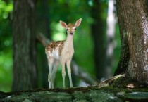 Deer Baby Animals HD Wallpapers - Deer Baby Animals