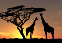 Awesome 20images 20of 20animals 20giraffe - Giraffe Sunset Background