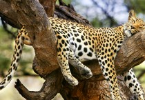Jaguar Sleeping on Tree HD Wallpapers - Jaguar Sleeping on Tree