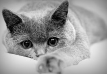 Grey Cat Animal, HD Wallpapers - Grey Cat Animal