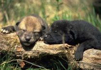 Timberwolf Pups
