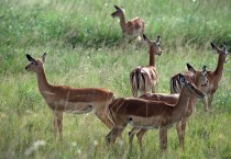 Antelope Wildlife In HD