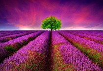 Purple Lavender Flower Field