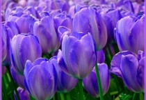 Purple Tulips In HD