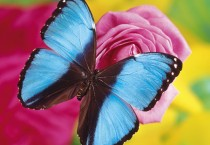 Butterfly On Pink Flower HD